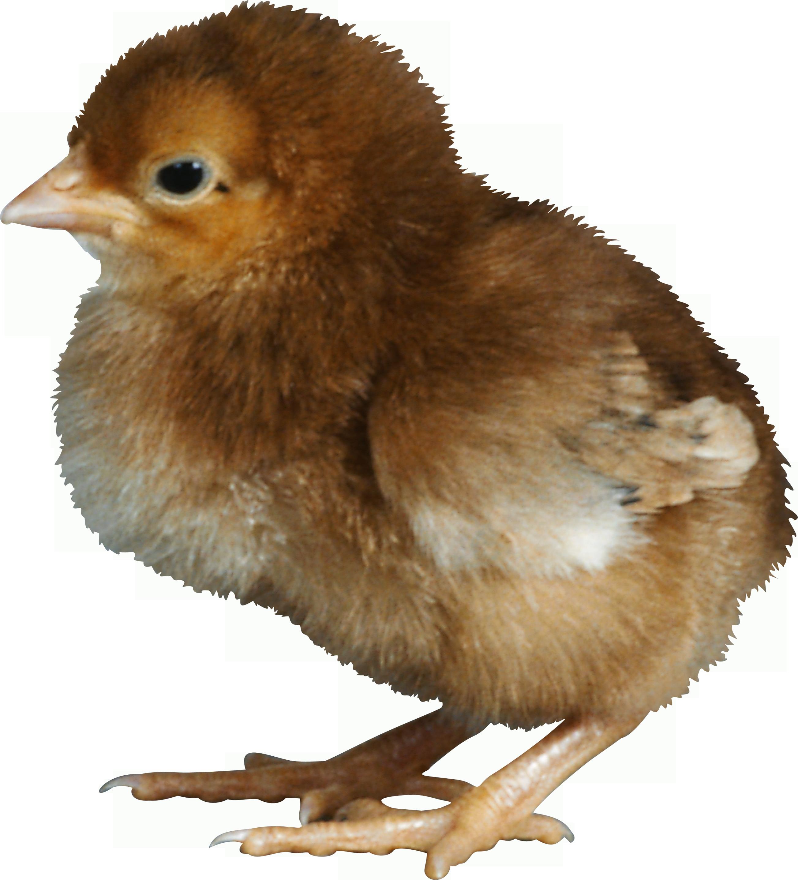 Чёрный цыпленок. Фото