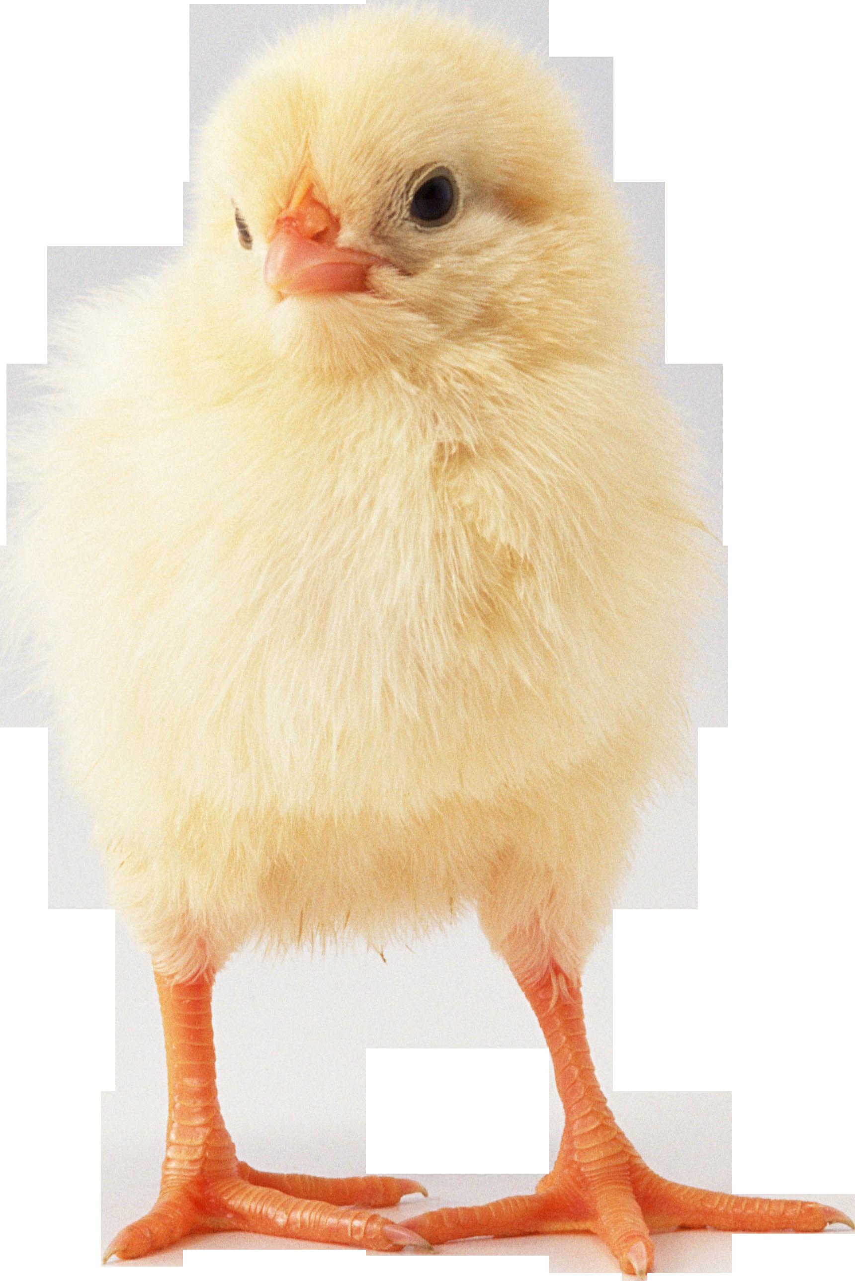 Фото цыплёнка