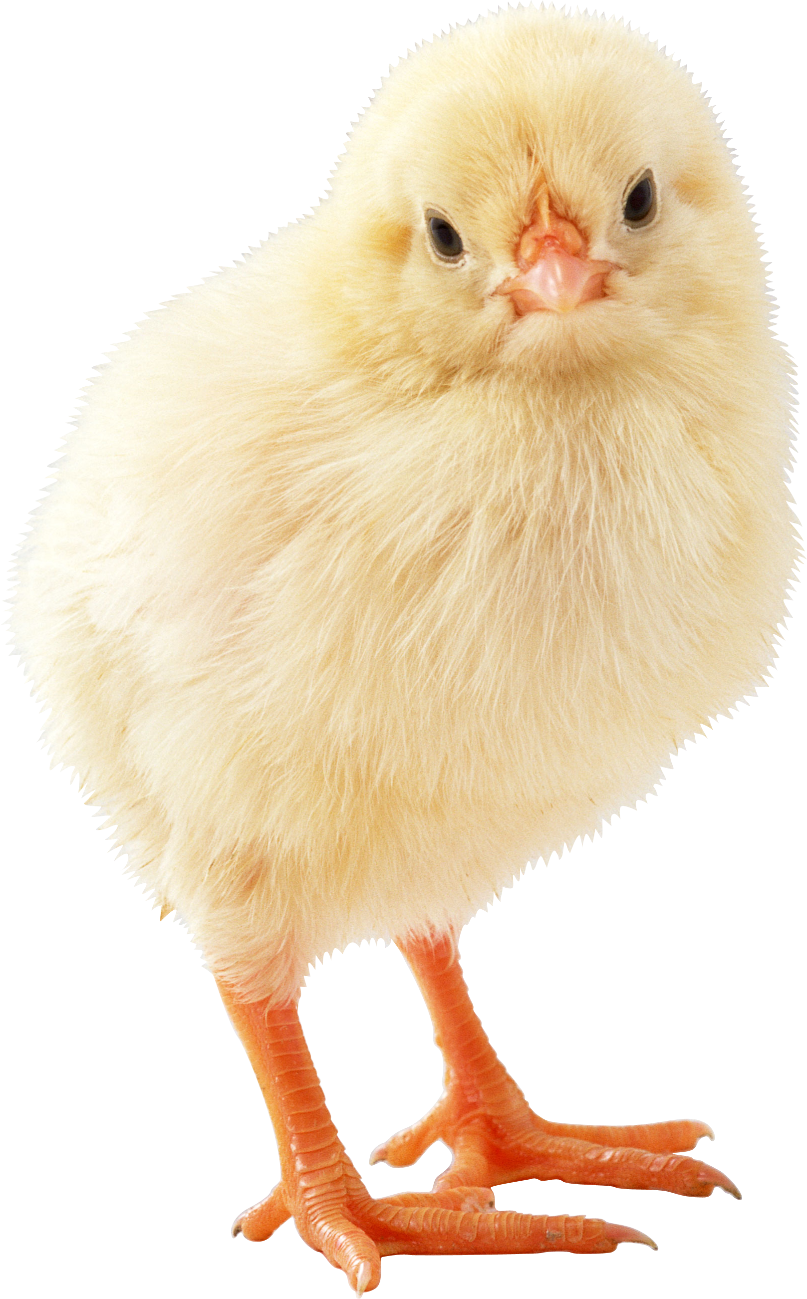 Цыплёнок. Фотография