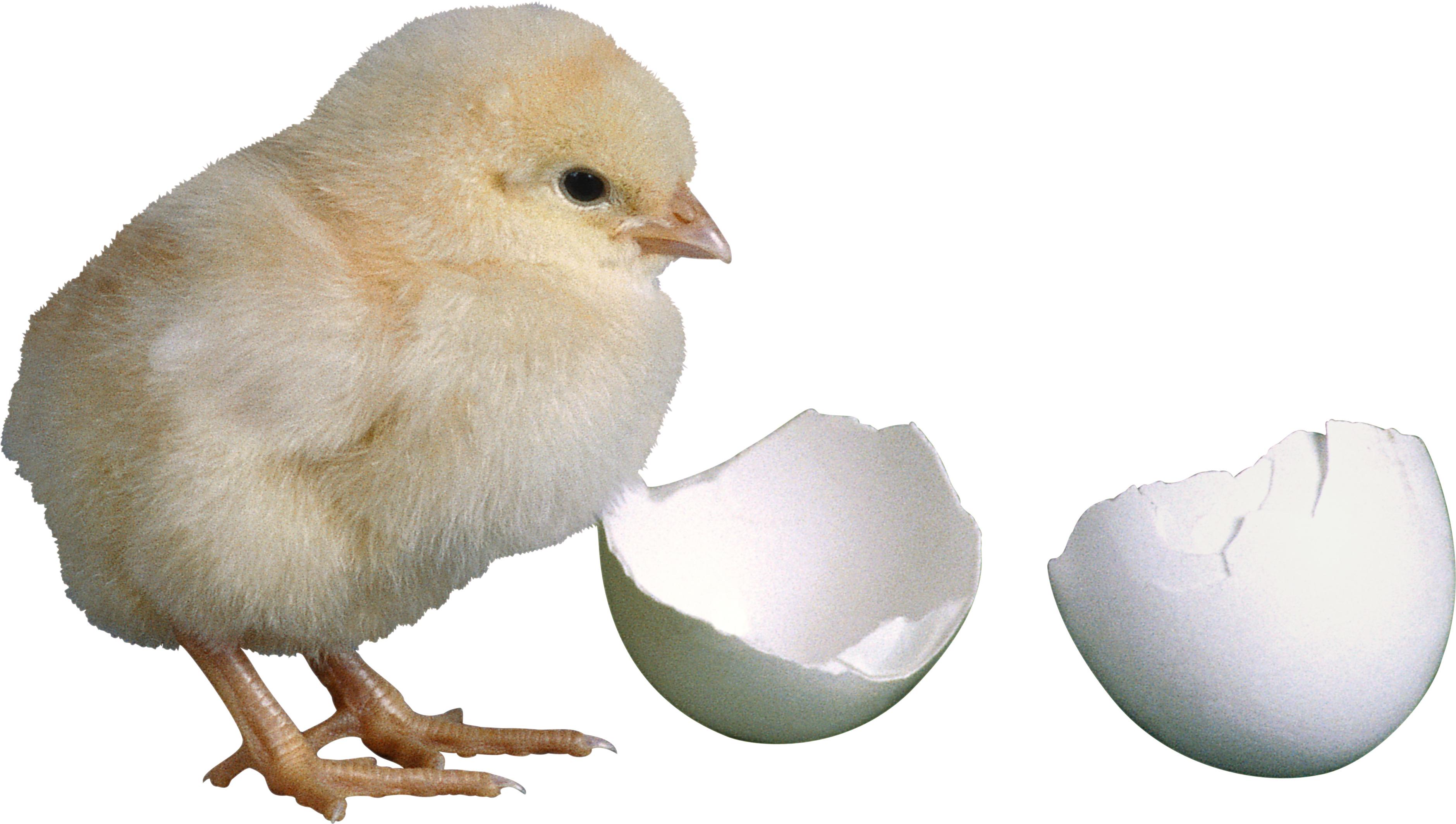 Цыплёнок и яичные скорлупки