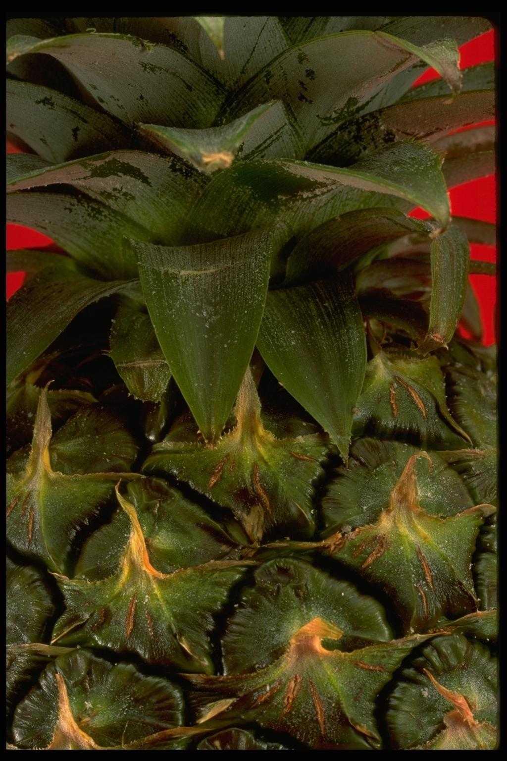 Верхняя часть незрелого ананаса
