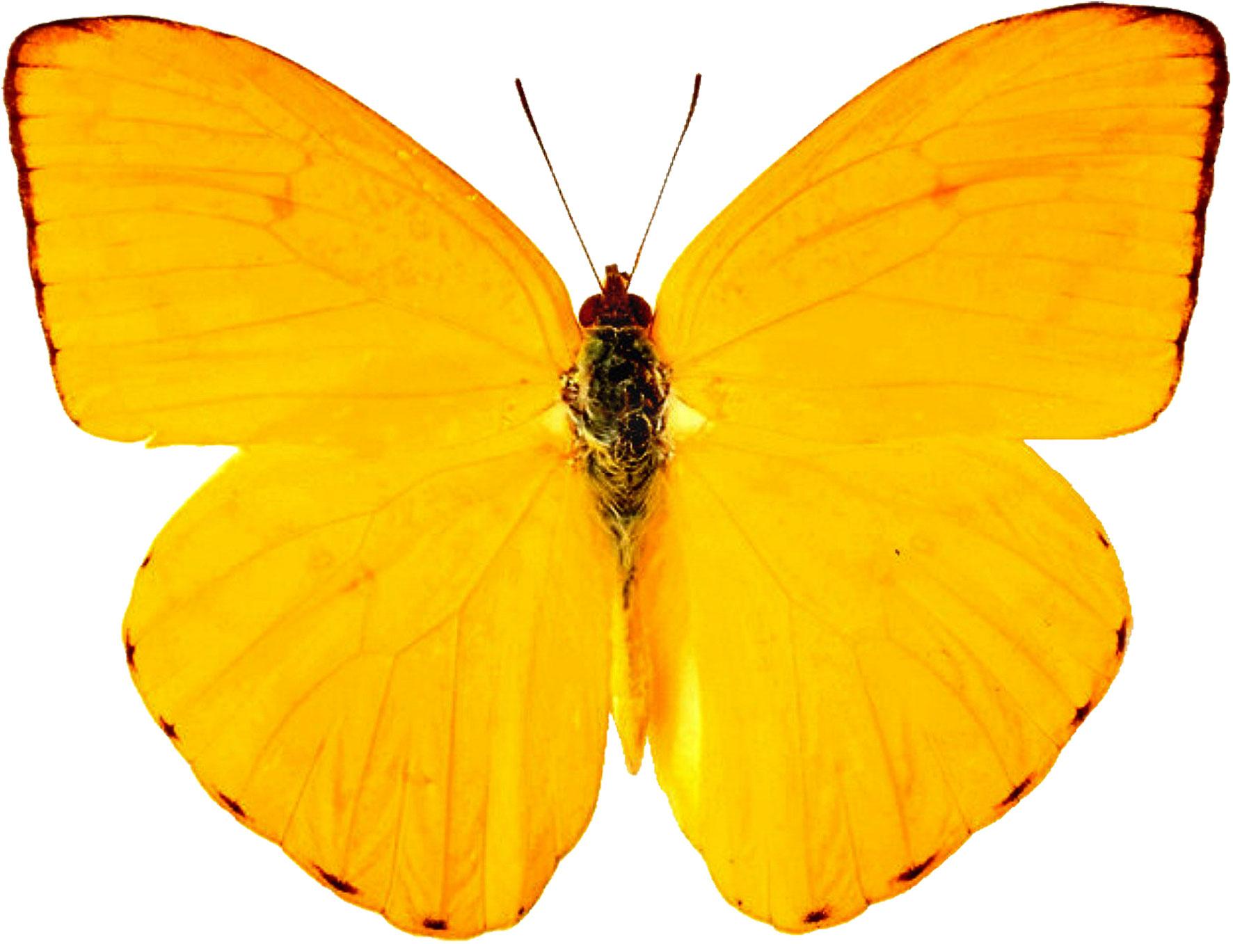 Картинки бабочки желтые